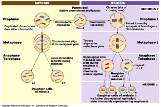 2 Identical Diploid Cells Produced Animation , 4 Meiosis Cell Division Animation In Cell Category