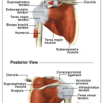 4 muscles and tendons of the rotator cuff , 5 Rotator Cuff Anatomy Muscles In Muscles Category