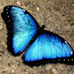 a Blue Morpho Butterfly , 7 Blue Morpho Butterfly Facts In Butterfly Category
