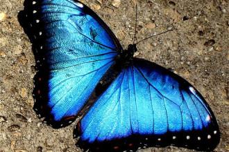A Blue Morpho Butterfly , 7 Blue Morpho Butterfly Facts In Butterfly Category