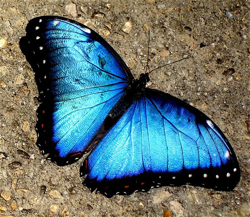 Butterfly , 7 Blue Morpho Butterfly Facts : A Blue Morpho Butterfly