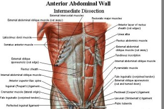 Abdominal Muscles in Skeleton
