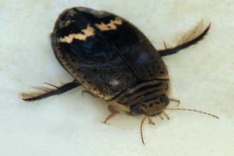 Acilius Mediatus Water Beetle , 7 Water Bug Beetle In Beetles Category