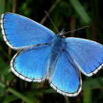 Adonis Blue Butterfly , 4 Adonis Blue Butterfly Pictures In Butterfly Category