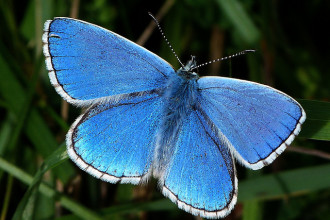 Adonis Blue Butterfly in Spider