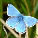 Adonis Blue male butterfly , 4 Adonis Blue Butterfly Pictures In Butterfly Category