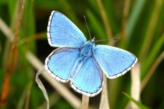 Adonis Blue male butterfly in Spider