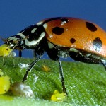 Adult Ladybug Eating Aphids , 8 Lady Bugs Eating Photos In Bug Category