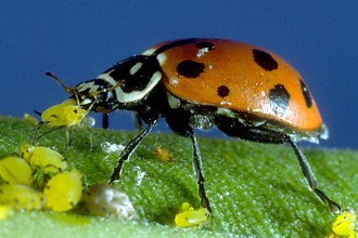 Adult Ladybug Eating Aphids in Cell