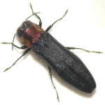 Agriline metallic wood boring beetle , 6 Pictures Of Wood Boring Beetle In Beetles Category