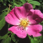 Alberta Wild Rose , 6 Wild Roses Plant In Plants Category