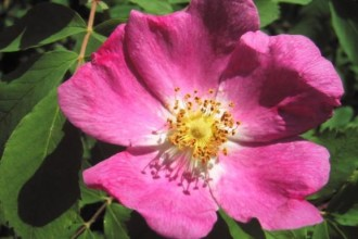 Alberta Wild Rose in Dog