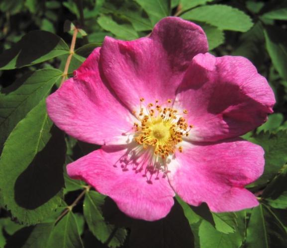 Plants , 6 Wild Roses Plant : Alberta Wild Rose