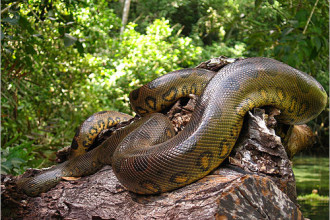 Anacondas Of The Amazon Rainforest , 6 Anaconda Rainforest Animals In Reptiles Category
