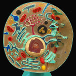 Animal Cell Cross Section Model , 3 Cross Section Of An Animal Cell In Cell Category