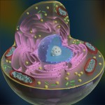 Animal Cell Cross Section Science 3D Models , 2 Pictures Of 3d Animal Cell Project Materials In Cell Category