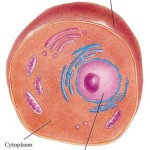Animal Cell Cytoplasm , 4 Cytoplasm In Animal Cell Pictures In Cell Category