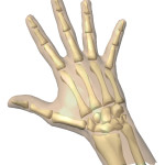 Animation of skeleton Hands , 4 Human Skeleton Hand Diagrams In Skeleton Category
