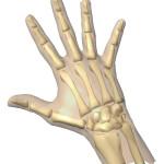 Animation of skeleton Hands , 4 Human Skeleton Hand Diagrams In Skeleton Category