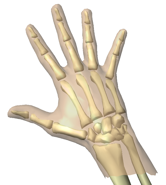 Skeleton , 4 Human Skeleton Hand Diagrams : Animation Of Skeleton Hands