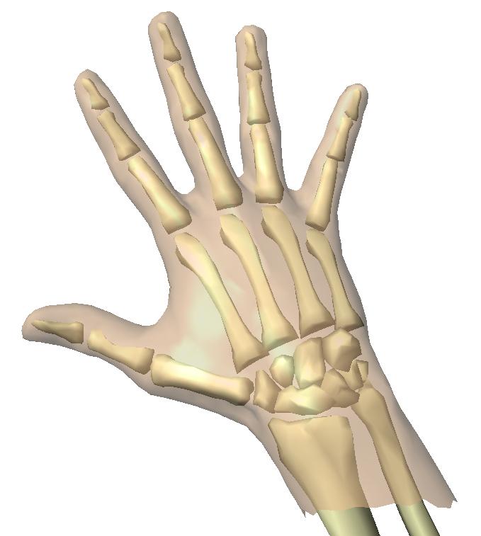 Skeleton , 4 Human Skeleton Hand Diagrams : Animation Of Skeleton Hands