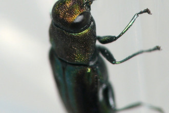 Anthaxia Quercata Wood Boring Beetle , 6 Pictures Of Wood Boring Beetle In Beetles Category