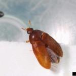 Attagenus brunneus - carpet beetle , 5 Carpet Beetle Facts In Beetles Category