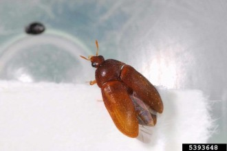 Attagenus brunneus - carpet beetle in Orthoptera