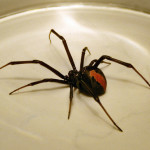 Australian Redback Spider , 7 Redback Spider Photo In Spider Category