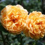 Beautiful Old Roses , 6 Old Roses Varieties In Plants Category