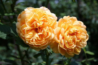 Beautiful Old Roses in Genetics
