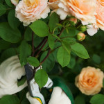 Beautiful Species old Roses , 6 Old Roses Varieties In Plants Category