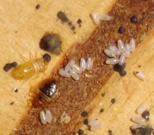 Bed Bug Eggs 1