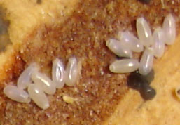 Bed Bug Eggs 5 , 7 Images Of Bed Bug Eggs In Bug Category