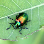 Beetle Bug pic 1 , 6 Beetle Bug Picture In Beetles Category