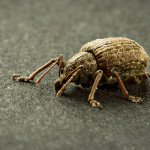 Beetle Bug pic 2 , 6 Beetle Bug Picture In Beetles Category