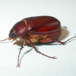 Beetle Bug pic 3 , 6 Beetle Bug Picture In Beetles Category