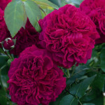 Best English Rose Varieties , 6 Old Roses Varieties In Plants Category