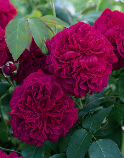 best english rose varieties 6 old roses varieties. Black Bedroom Furniture Sets. Home Design Ideas
