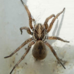 Big Fuzzy Brown Spider , 6 Big Brown Spider In Spider Category