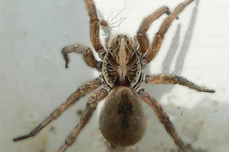 Big Fuzzy Brown Spider in Cell