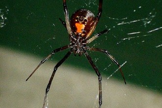 Black Widow Spider in Forest