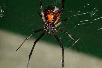 Black Widow Spider in Reptiles