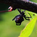 Black Widow Spider Facts , 5 Black Widow Spiders Habitat In Spider Category