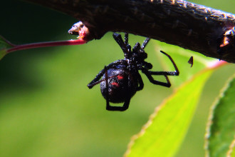 Black Widow Spider Facts in Plants