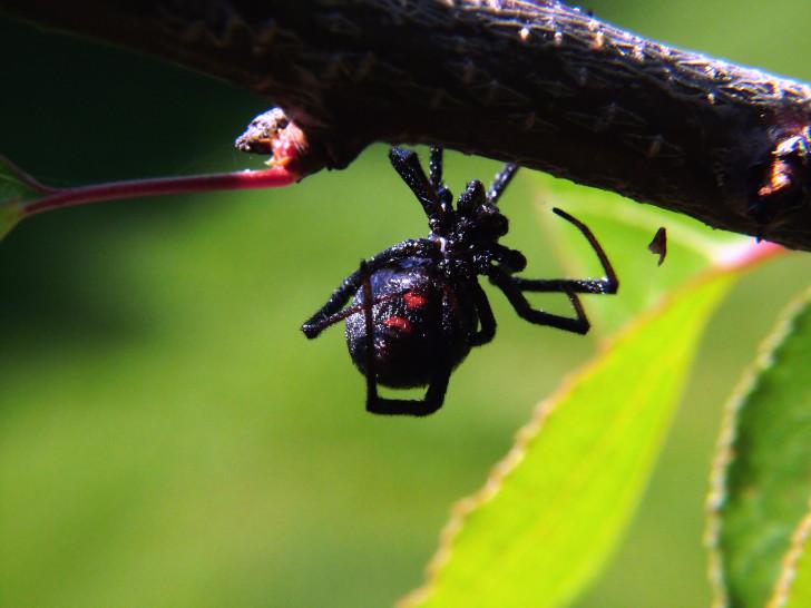 Spider , 5 Black Widow Spiders Habitat : Black Widow Spider Facts