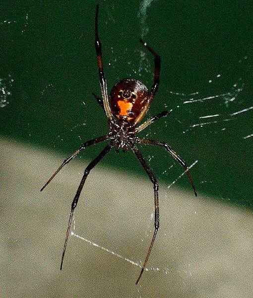 Spider , 5 Black Widow Spider Fact : Black Widow Spider