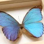 Blue Morpho Butterfly Display , 7 Blue Morpho Butterfly Specimen In Butterfly Category