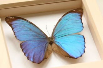 Blue Morpho Butterfly Display , 7 Blue Morpho Butterfly Specimen In Butterfly Category