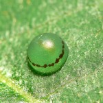 Blue Morpho Butterfly Egg pic 1 , 6 Blue Morpho Butterfly Eggs Pictures In Butterfly Category